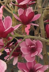 none Magnolia x March till Frost Magnolia - Hybrid, March till Frost, #7