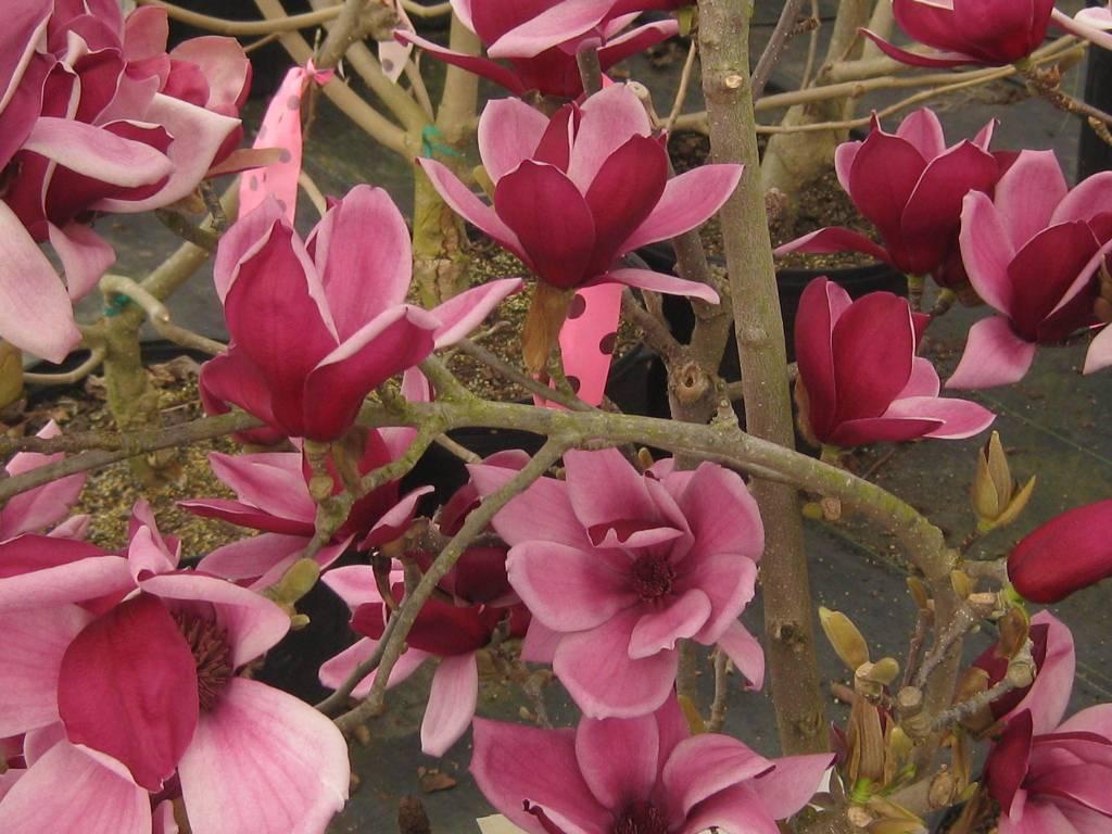 New Magnolia x March till Frost Magnolia - Hybrid, March till Frost, #7