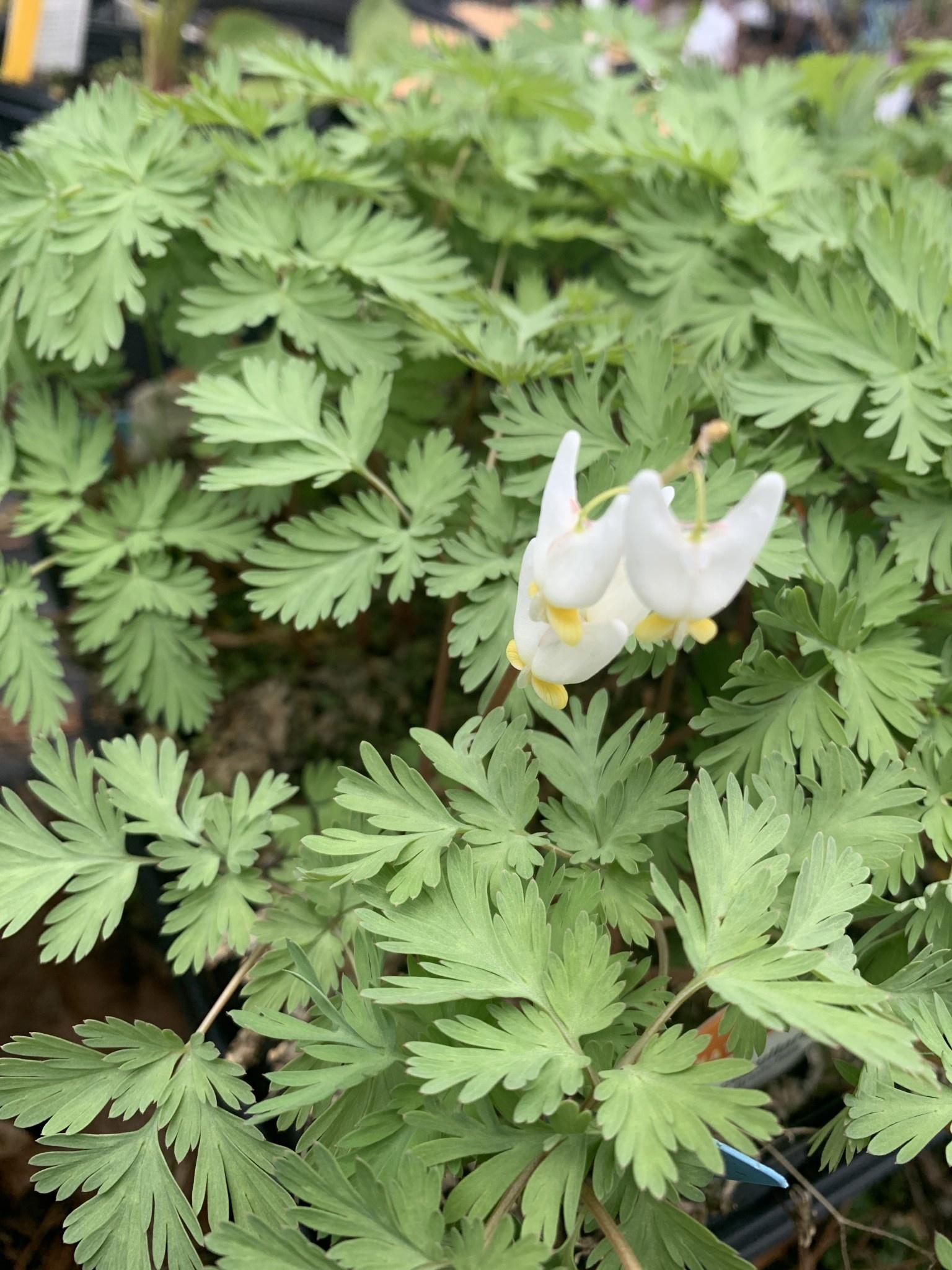 Dicentra cucullaria Dutchman's Breeches, 2Qt