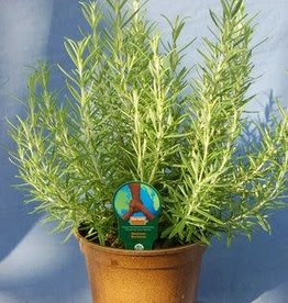 Rosemary, Barbeque Qt pots- Organic