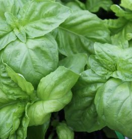Basil, Sweet Large Leaf, 4""