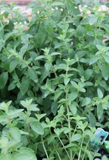 "Oregano, Italian 4"" pot"