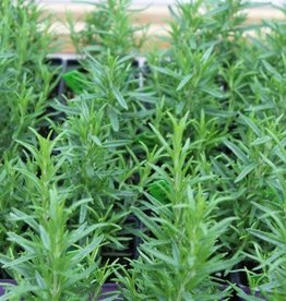 "Rosemary, Barbeque, 4"" pot"