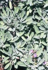 "Sage, Grey, herb, 4"" pot"