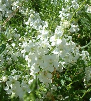 "Angelonia, Archangel White, 4.5"" pot"