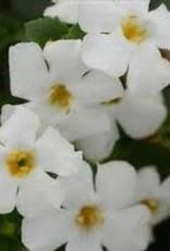 """Bacopa, white, 4.5"""" pot"""