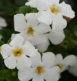 "Bacopa, white, 4.5"" pot"