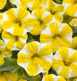 "Calibrachoa Lemon slice, 4.5"" pot"