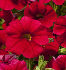 "Calibrachoa Red, 4.5"" pot"
