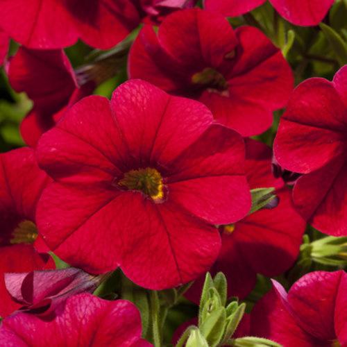 "Calibrachoa Red, 4.5"" pot"