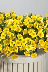 "Calibrachoa, Yellow, 4.5"" pot"