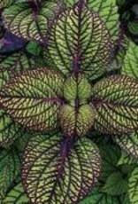 "Coleus, Fishnet Stockings, 4.5"" pot"