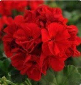 """Geranium,  Dark Red, 4.5"""" pot"""