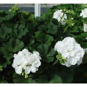 """Geranium,  White, 4.5"""" pot"""