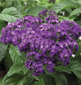 "Heliotrope, Scentopia Dark Blue, 4.5"" pot"