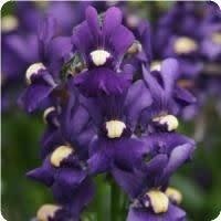 """Nemesia, Royal Blue, 4.5"""" pot"""