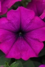 """Petunia, Easy Wave Violet, 4.5"""" pot"""