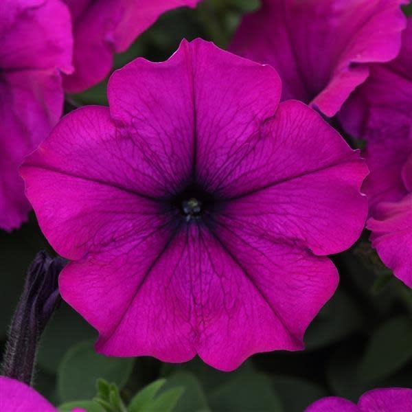 Petunia Easy Wave Violet 4 5 Pot Behmerwald Nursery