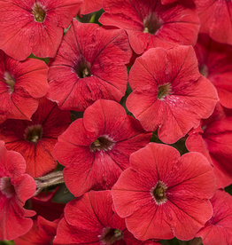 "Petunia, PW Supertunia Red, 4.5"" pot"