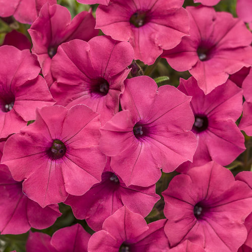 "Petunia, PW Supertunia Vista Fuchsia, 4.5"" pot"