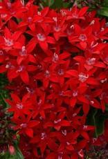 "Pentas, Lucky Star Dark Red, 4.5"" pot"