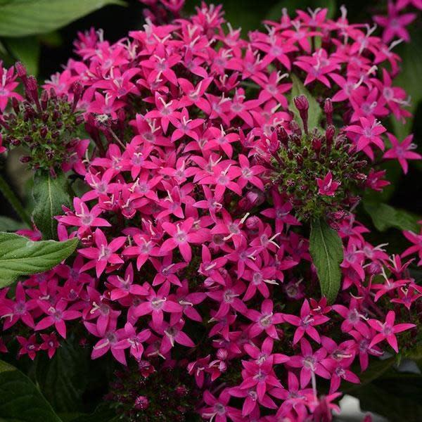 """Pentas, Lucky Star Lavender, 4.5"""" pot"""