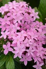 """Pentas, Lucky Star Pink, 4.5"""" pot"""