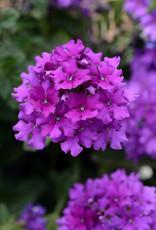 "Verbena, Endurascape Purple, 4.5"" pot"