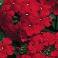 """Verbena, Lanai Red, 4.5"""" pot"""