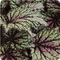 "Begonia, Jurassic Rex Green Streak, 4.5"" Pot"