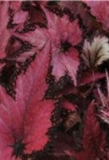 "Begonia, Jurassic Rex Pink Shades, 4.5"" Pot"