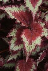 """Begonia, Jurassic Rex Red Splash, 4.5"""" Pot"""