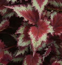 "Begonia, Jurassic Rex Red Splash, 4.5"" Pot"