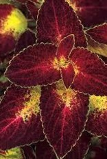 "Coleus, Dipt in Wine, 4.5"" pot"