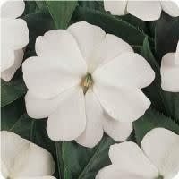 "Impatiens, New Guinea White, 4.5"" pot"