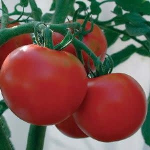 "Tomato, Rutgers Heirloom- Vegetable, 4"" pot"