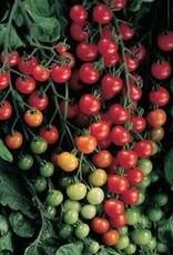 "Tomato, Sweet 100- Vegetable, 4"" pot"