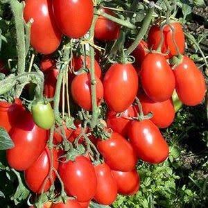 "Tomato, San Marzano- Vegetable, 4"" pot"
