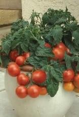 """Tomato, Patio- Vegetable, 4"""" pot"""