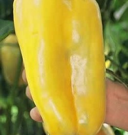 "Pepper, Golden Belle yellow- Vegetable, 4"" pot"