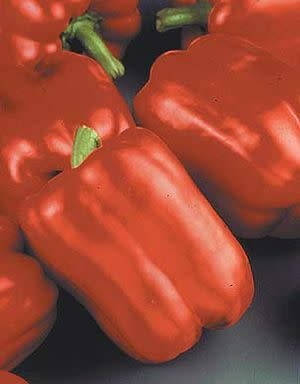 "Pepper, Red Beauty - Vegetable, 4"" pot"