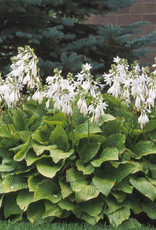 Hosta Royal Standard Plantain Lily, Royal Standard, #1