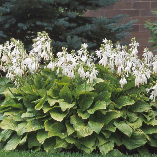 Hosta Royal Standard Plantain Lily, Royal Standard, #1