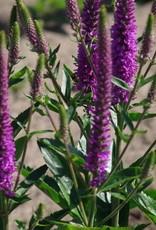 - Veronica Purpleicious, Speedwell, #1