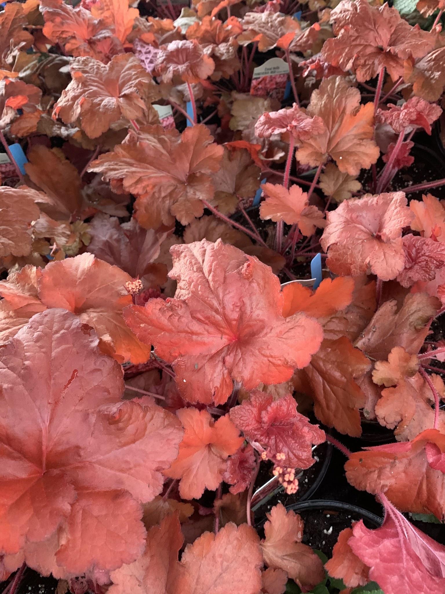 Heuchera Forever Red, Coral Bells , #1