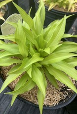 Hosta Munchin Fire  Plaintain Lily, #1
