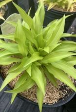 Hosta Munchin Fire  Plaintain Lily, #1