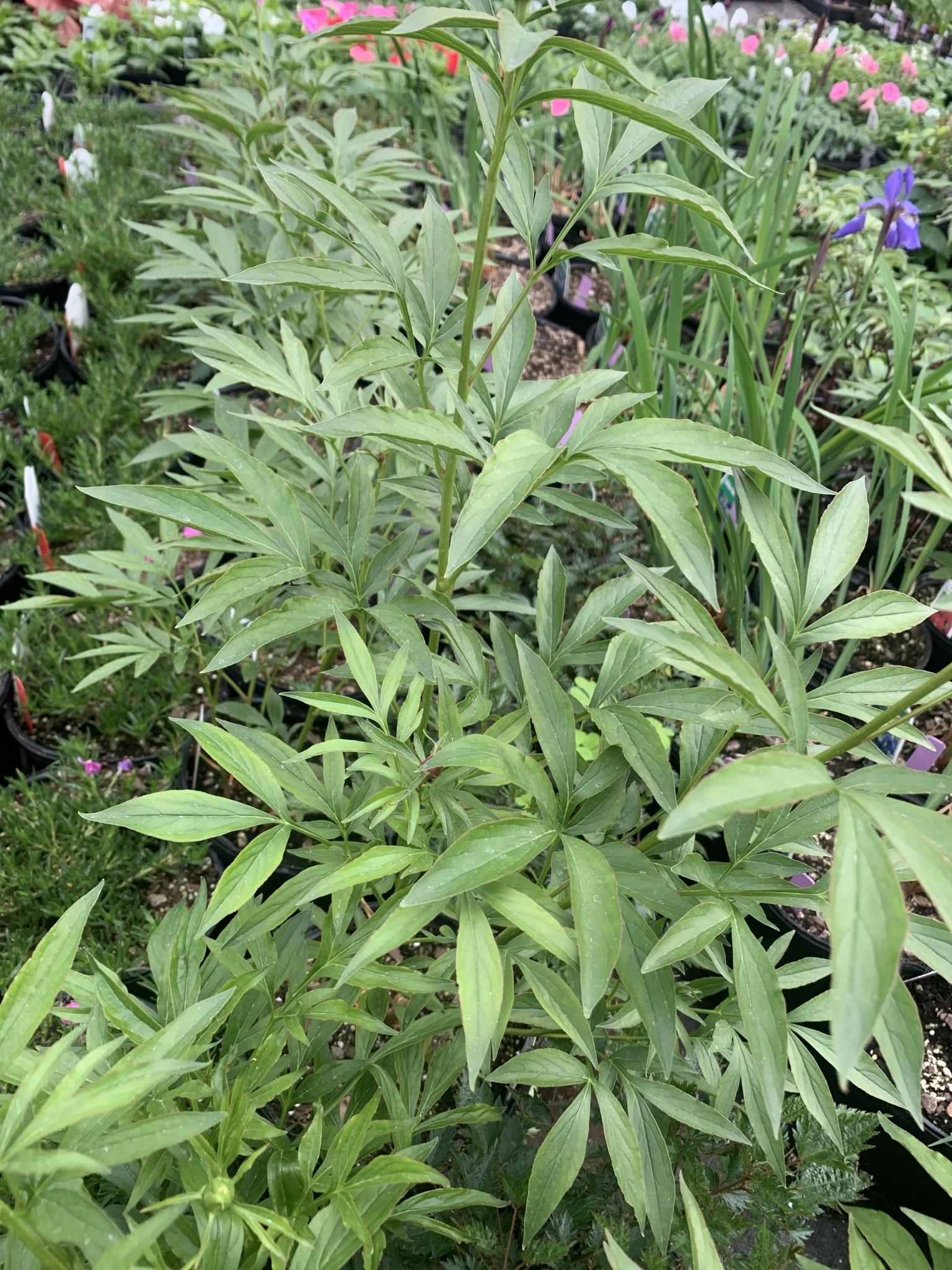 Paeonia sp. Peony, Primavera, ##1