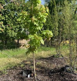 Acer x freemanii Jeffersred Maple - Freeman, Autumn Blaze, #7