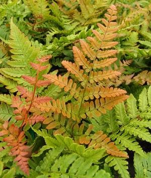 Dryopteris ery. Brilliance Fern - Autumn, Brilliance, #1